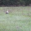 Bociek na polach koło Jagarzewa