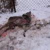 Działkowicz znalazł martwą sarnę w Mławie. Uwaga! Drastyczne zdjęcia