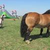 Wystawa koni zimnokrwistych