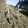 Łoś zginął pod Spręcowem