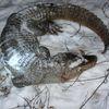 Aligator znaleziony koło Ostródy