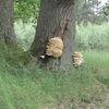 Grzyby najlepiej rosną na drzewach